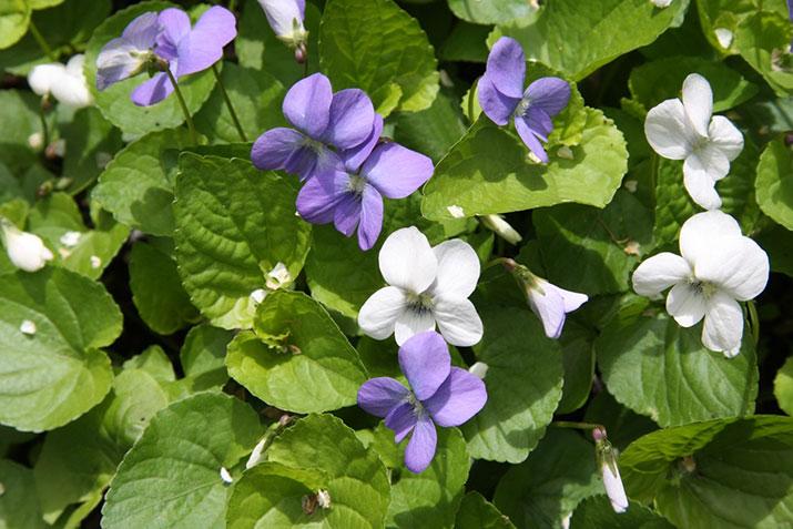 Plantes comestibles la violette