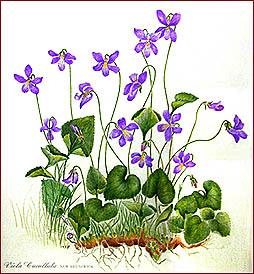 La violette, Viola odorata,Viola