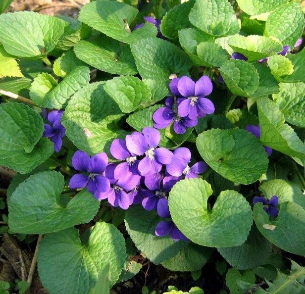 De jolie violette sauvage