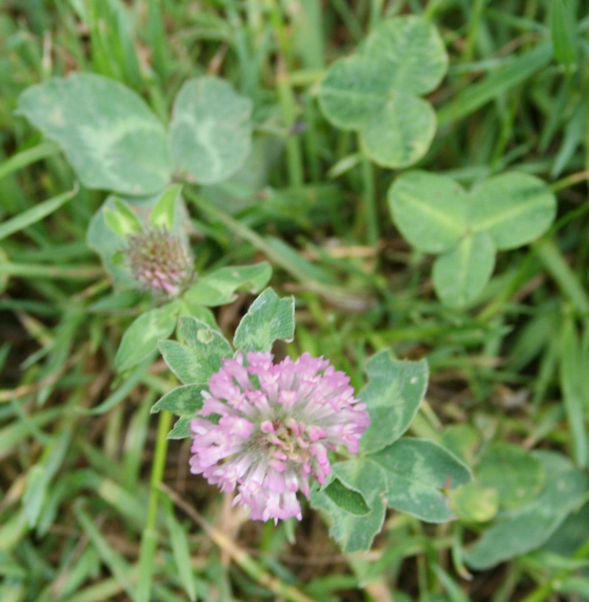 Trèfle rouge ( trifolium pratense)