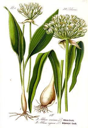 Ail des ours, Alliumursinum