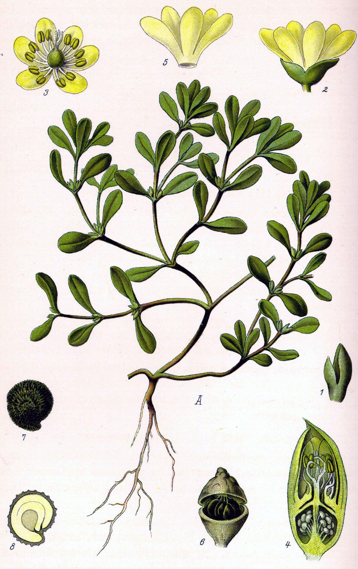 portulaca oleracea sauvage comestible