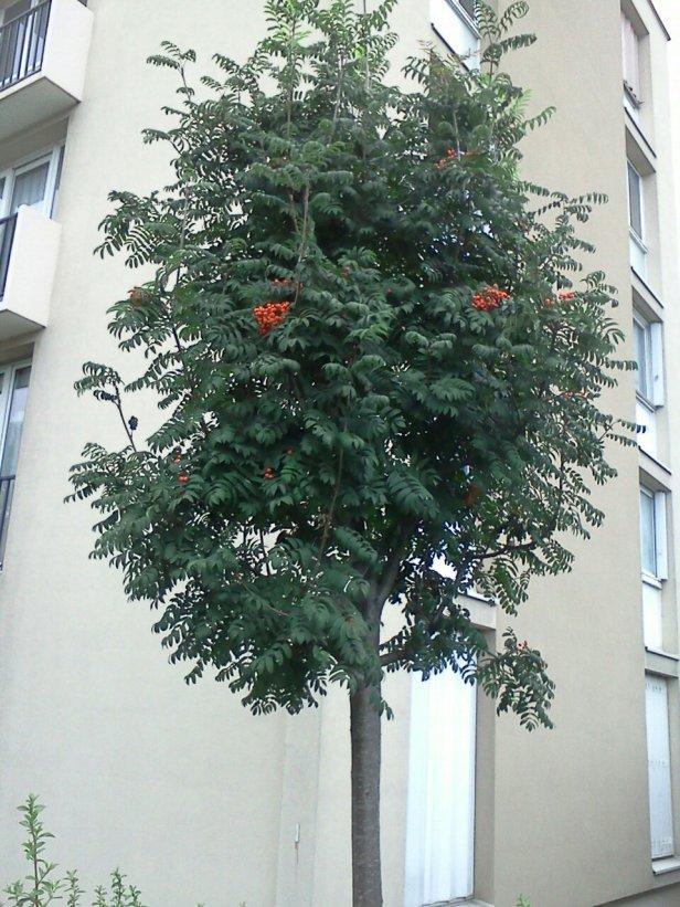Sorbus, sorbier