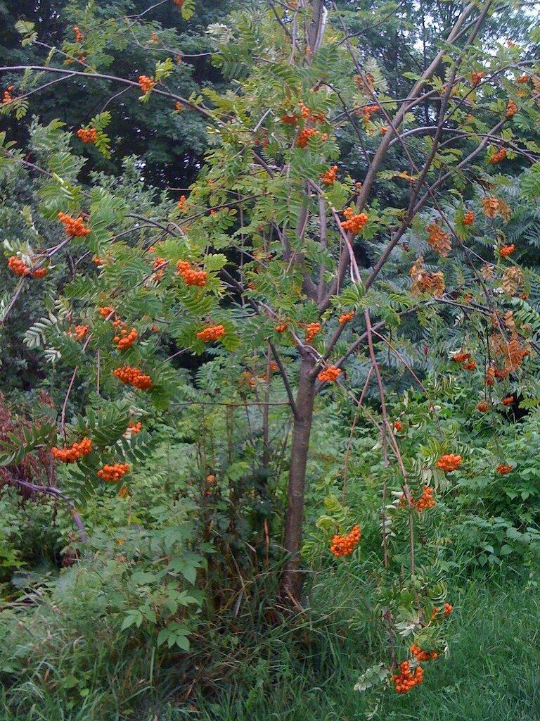 Sorbus, comestible