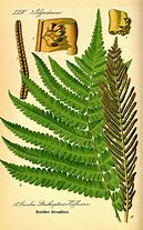 identification de matteuccia Struthiopteris