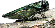 Agrilus planipennis parasite du frêne agrile du frêne