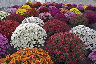 Plusieurs chrysanthème de différente couleur