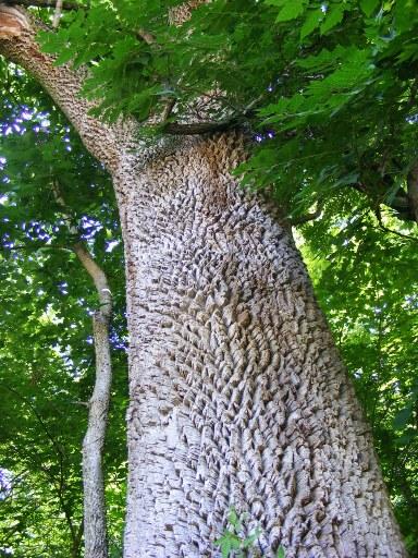 Écorce de frêne blanc