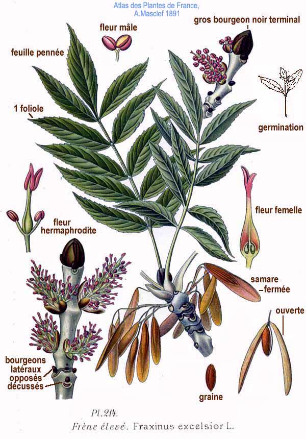 Détails pour l'identification du frêne