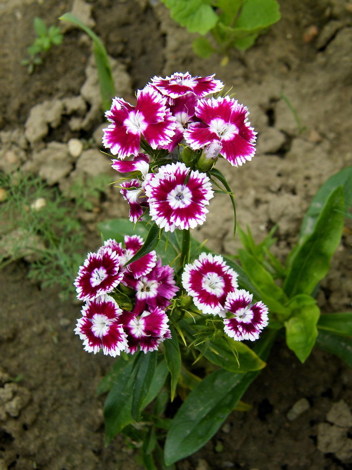 Œillets, Dianthus