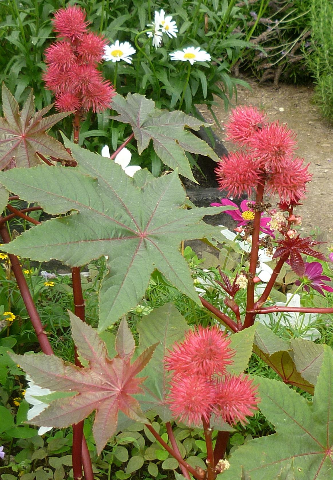 Ricin fleur rouge