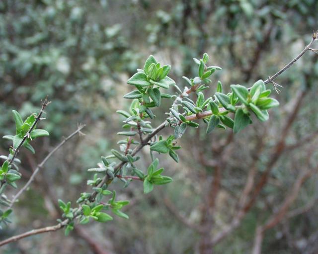 branche de thym, thymus vulgaris