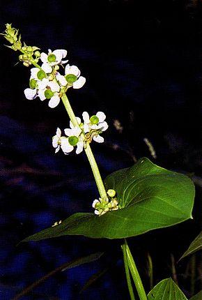 Sagittaire à large feuille en fleur
