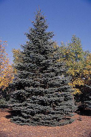 Épicéa bleu, sapin bleu, Picea pungens