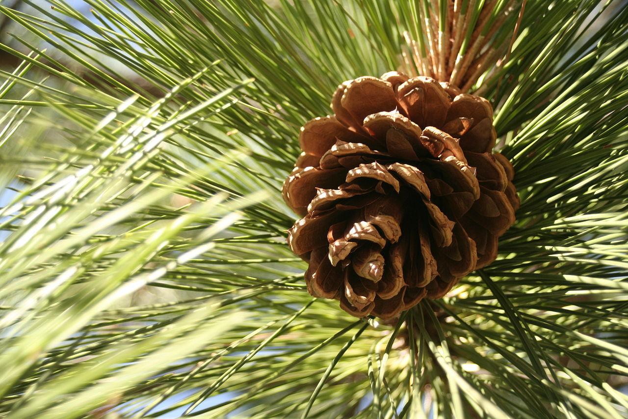 Pinus benthamiana cone