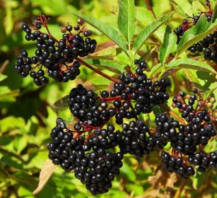 sureau-du-Canada-fruits